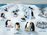 Lifecycle of the Emperor Penguin in Chinese, designed by Zina Deretsky, National Science Foundation, Arlington V.A. (Source: Wikimedia Commons)