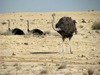 Ostriches in Qatar (Source: Wikimedia Commons)