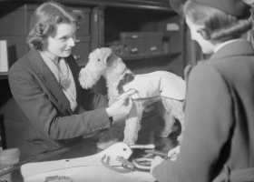 A sales assistant demonstrates a blackout coat for dogs at Selfridge's in London, circa 1940. The coat would ensure the dog was visible during the dark nights of the blackout (Source: Wikimedia Commons)