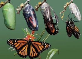 Chrysalis to butterfly