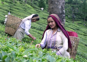 Tea pluckers in Darjeeling, 2004 (Source: Wikimedia Commons)